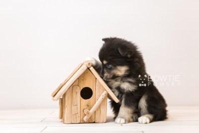puppy86 week5 BowTiePomsky.com Bowtie Pomsky Puppy For Sale Husky Pomeranian Mini Dog Spokane WA Breeder Blue Eyes Pomskies Celebrity Puppy web2