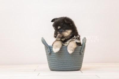 puppy86 week5 BowTiePomsky.com Bowtie Pomsky Puppy For Sale Husky Pomeranian Mini Dog Spokane WA Breeder Blue Eyes Pomskies Celebrity Puppy web5