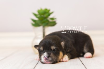 puppy87 week1 BowTiePomsky.com Bowtie Pomsky Puppy For Sale Husky Pomeranian Mini Dog Spokane WA Breeder Blue Eyes Pomskies Celebrity Puppy web6