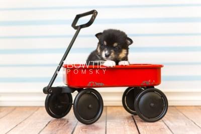 puppy87 week3 BowTiePomsky.com Bowtie Pomsky Puppy For Sale Husky Pomeranian Mini Dog Spokane WA Breeder Blue Eyes Pomskies Celebrity Puppy web2