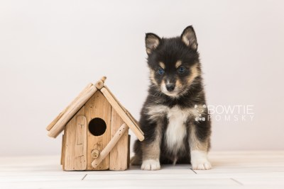 puppy87 week5 BowTiePomsky.com Bowtie Pomsky Puppy For Sale Husky Pomeranian Mini Dog Spokane WA Breeder Blue Eyes Pomskies Celebrity Puppy web2
