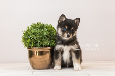 puppy87 week5 BowTiePomsky.com Bowtie Pomsky Puppy For Sale Husky Pomeranian Mini Dog Spokane WA Breeder Blue Eyes Pomskies Celebrity Puppy web3