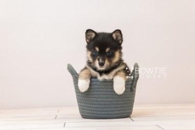 puppy87 week5 BowTiePomsky.com Bowtie Pomsky Puppy For Sale Husky Pomeranian Mini Dog Spokane WA Breeder Blue Eyes Pomskies Celebrity Puppy web6