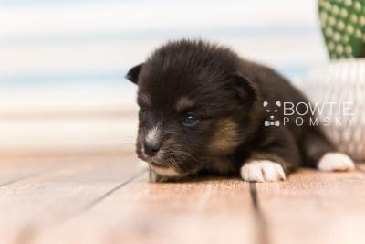 puppy88 week3 BowTiePomsky.com Bowtie Pomsky Puppy For Sale Husky Pomeranian Mini Dog Spokane WA Breeder Blue Eyes Pomskies Celebrity Puppy web3
