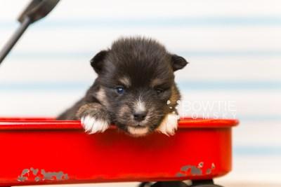 puppy88 week3 BowTiePomsky.com Bowtie Pomsky Puppy For Sale Husky Pomeranian Mini Dog Spokane WA Breeder Blue Eyes Pomskies Celebrity Puppy web6