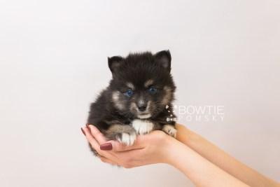 puppy88 week5 BowTiePomsky.com Bowtie Pomsky Puppy For Sale Husky Pomeranian Mini Dog Spokane WA Breeder Blue Eyes Pomskies Celebrity Puppy web1