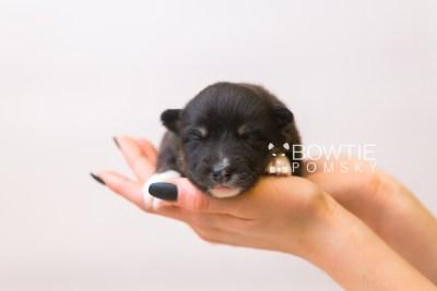 puppy89 week1 BowTiePomsky.com Bowtie Pomsky Puppy For Sale Husky Pomeranian Mini Dog Spokane WA Breeder Blue Eyes Pomskies Celebrity Puppy web5