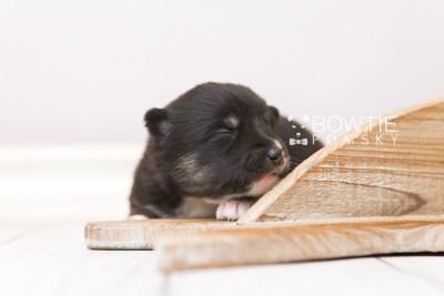 puppy89 week1 BowTiePomsky.com Bowtie Pomsky Puppy For Sale Husky Pomeranian Mini Dog Spokane WA Breeder Blue Eyes Pomskies Celebrity Puppy web6