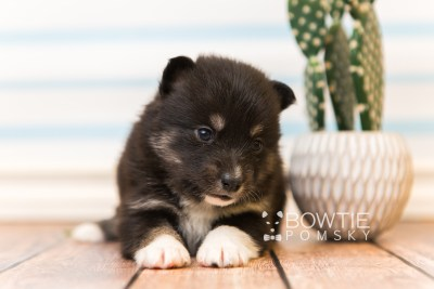 puppy89 week3 BowTiePomsky.com Bowtie Pomsky Puppy For Sale Husky Pomeranian Mini Dog Spokane WA Breeder Blue Eyes Pomskies Celebrity Puppy web3