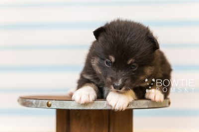 puppy89 week3 BowTiePomsky.com Bowtie Pomsky Puppy For Sale Husky Pomeranian Mini Dog Spokane WA Breeder Blue Eyes Pomskies Celebrity Puppy web4