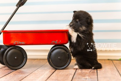 puppy89 week3 BowTiePomsky.com Bowtie Pomsky Puppy For Sale Husky Pomeranian Mini Dog Spokane WA Breeder Blue Eyes Pomskies Celebrity Puppy web5