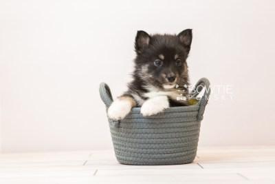 puppy89 week5 BowTiePomsky.com Bowtie Pomsky Puppy For Sale Husky Pomeranian Mini Dog Spokane WA Breeder Blue Eyes Pomskies Celebrity Puppy web2