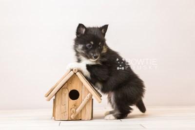 puppy89 week5 BowTiePomsky.com Bowtie Pomsky Puppy For Sale Husky Pomeranian Mini Dog Spokane WA Breeder Blue Eyes Pomskies Celebrity Puppy web4