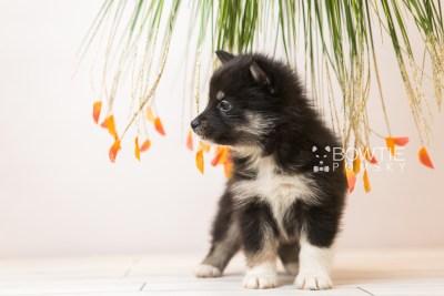 puppy89 week5 BowTiePomsky.com Bowtie Pomsky Puppy For Sale Husky Pomeranian Mini Dog Spokane WA Breeder Blue Eyes Pomskies Celebrity Puppy web5