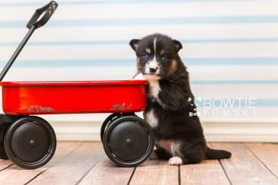 puppy90 week3 BowTiePomsky.com Bowtie Pomsky Puppy For Sale Husky Pomeranian Mini Dog Spokane WA Breeder Blue Eyes Pomskies Celebrity Puppy web5