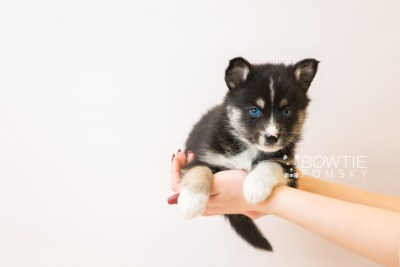 puppy90 week5 BowTiePomsky.com Bowtie Pomsky Puppy For Sale Husky Pomeranian Mini Dog Spokane WA Breeder Blue Eyes Pomskies Celebrity Puppy web1