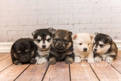 puppy91-95 week3 BowTiePomsky.com Bowtie Pomsky Puppy For Sale Husky Pomeranian Mini Dog Spokane WA Breeder Blue Eyes Pomskies Celebrity Puppy web1