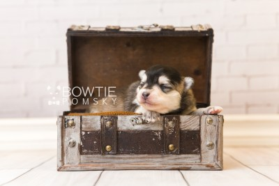 puppy91 week1 BowTiePomsky.com Bowtie Pomsky Puppy For Sale Husky Pomeranian Mini Dog Spokane WA Breeder Blue Eyes Pomskies Celebrity Puppy web1
