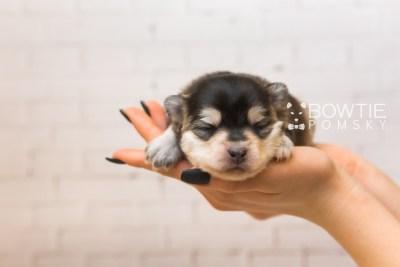 puppy91 week1 BowTiePomsky.com Bowtie Pomsky Puppy For Sale Husky Pomeranian Mini Dog Spokane WA Breeder Blue Eyes Pomskies Celebrity Puppy web5