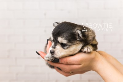 puppy91 week3 BowTiePomsky.com Bowtie Pomsky Puppy For Sale Husky Pomeranian Mini Dog Spokane WA Breeder Blue Eyes Pomskies Celebrity Puppy web1