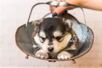 puppy91 week3 BowTiePomsky.com Bowtie Pomsky Puppy For Sale Husky Pomeranian Mini Dog Spokane WA Breeder Blue Eyes Pomskies Celebrity Puppy web5