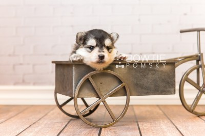 puppy91 week3 BowTiePomsky.com Bowtie Pomsky Puppy For Sale Husky Pomeranian Mini Dog Spokane WA Breeder Blue Eyes Pomskies Celebrity Puppy web6