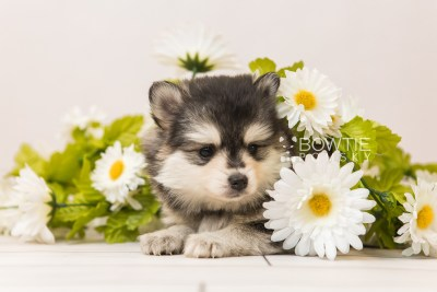 puppy91 week5 BowTiePomsky.com Bowtie Pomsky Puppy For Sale Husky Pomeranian Mini Dog Spokane WA Breeder Blue Eyes Pomskies Celebrity Puppy web2