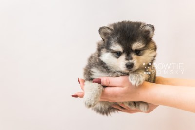 puppy91 week5 BowTiePomsky.com Bowtie Pomsky Puppy For Sale Husky Pomeranian Mini Dog Spokane WA Breeder Blue Eyes Pomskies Celebrity Puppy web6