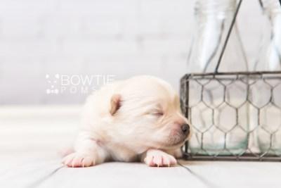 puppy92 week1 BowTiePomsky.com Bowtie Pomsky Puppy For Sale Husky Pomeranian Mini Dog Spokane WA Breeder Blue Eyes Pomskies Celebrity Puppy web3