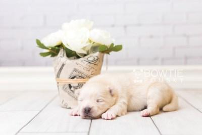 puppy92 week1 BowTiePomsky.com Bowtie Pomsky Puppy For Sale Husky Pomeranian Mini Dog Spokane WA Breeder Blue Eyes Pomskies Celebrity Puppy web4