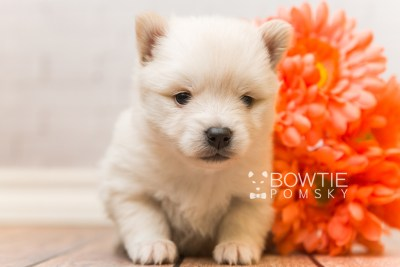 puppy92 week3 BowTiePomsky.com Bowtie Pomsky Puppy For Sale Husky Pomeranian Mini Dog Spokane WA Breeder Blue Eyes Pomskies Celebrity Puppy web3