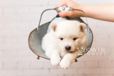puppy92 week3 BowTiePomsky.com Bowtie Pomsky Puppy For Sale Husky Pomeranian Mini Dog Spokane WA Breeder Blue Eyes Pomskies Celebrity Puppy web4
