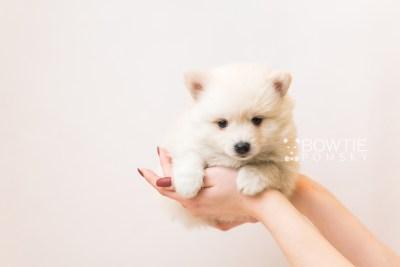 puppy92 week5 BowTiePomsky.com Bowtie Pomsky Puppy For Sale Husky Pomeranian Mini Dog Spokane WA Breeder Blue Eyes Pomskies Celebrity Puppy web1