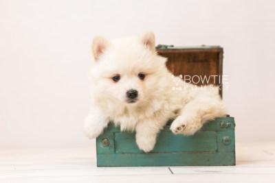 puppy92 week5 BowTiePomsky.com Bowtie Pomsky Puppy For Sale Husky Pomeranian Mini Dog Spokane WA Breeder Blue Eyes Pomskies Celebrity Puppy web3