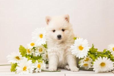 puppy92 week5 BowTiePomsky.com Bowtie Pomsky Puppy For Sale Husky Pomeranian Mini Dog Spokane WA Breeder Blue Eyes Pomskies Celebrity Puppy web4