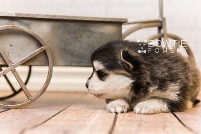 puppy93 week3 BowTiePomsky.com Bowtie Pomsky Puppy For Sale Husky Pomeranian Mini Dog Spokane WA Breeder Blue Eyes Pomskies Celebrity Puppy web3
