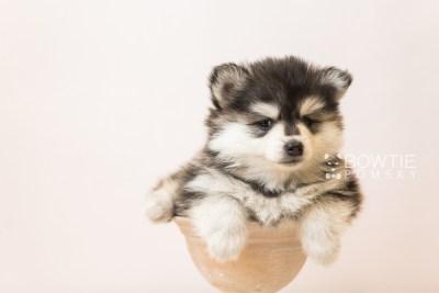 puppy93 week5 BowTiePomsky.com Bowtie Pomsky Puppy For Sale Husky Pomeranian Mini Dog Spokane WA Breeder Blue Eyes Pomskies Celebrity Puppy web4