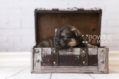 puppy94 week1 BowTiePomsky.com Bowtie Pomsky Puppy For Sale Husky Pomeranian Mini Dog Spokane WA Breeder Blue Eyes Pomskies Celebrity Puppy web1