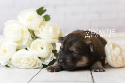puppy94 week1 BowTiePomsky.com Bowtie Pomsky Puppy For Sale Husky Pomeranian Mini Dog Spokane WA Breeder Blue Eyes Pomskies Celebrity Puppy web4