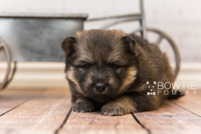 puppy94 week3 BowTiePomsky.com Bowtie Pomsky Puppy For Sale Husky Pomeranian Mini Dog Spokane WA Breeder Blue Eyes Pomskies Celebrity Puppy web2