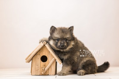 puppy94 week5 BowTiePomsky.com Bowtie Pomsky Puppy For Sale Husky Pomeranian Mini Dog Spokane WA Breeder Blue Eyes Pomskies Celebrity Puppy web6