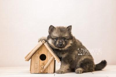 puppy94 week5 BowTiePomsky.com Bowtie Pomsky Puppy For Sale Husky Pomeranian Mini Dog Spokane WA Breeder Blue Eyes Pomskies Celebrity Puppy web6
