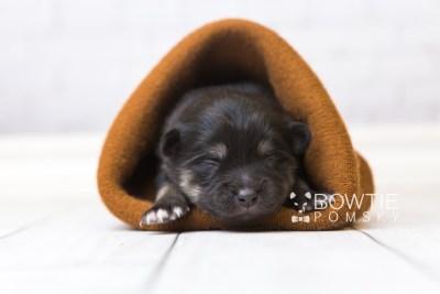 puppy95 week1 BowTiePomsky.com Bowtie Pomsky Puppy For Sale Husky Pomeranian Mini Dog Spokane WA Breeder Blue Eyes Pomskies Celebrity Puppy web2