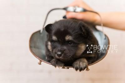 puppy95 week3 BowTiePomsky.com Bowtie Pomsky Puppy For Sale Husky Pomeranian Mini Dog Spokane WA Breeder Blue Eyes Pomskies Celebrity Puppy web2