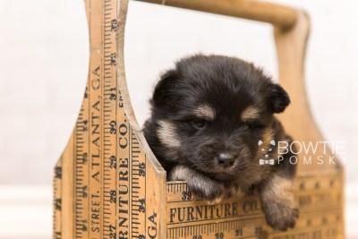 puppy95 week3 BowTiePomsky.com Bowtie Pomsky Puppy For Sale Husky Pomeranian Mini Dog Spokane WA Breeder Blue Eyes Pomskies Celebrity Puppy web4