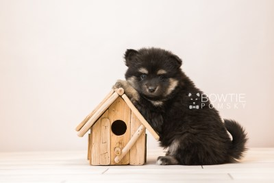 puppy95 week5 BowTiePomsky.com Bowtie Pomsky Puppy For Sale Husky Pomeranian Mini Dog Spokane WA Breeder Blue Eyes Pomskies Celebrity Puppy web2