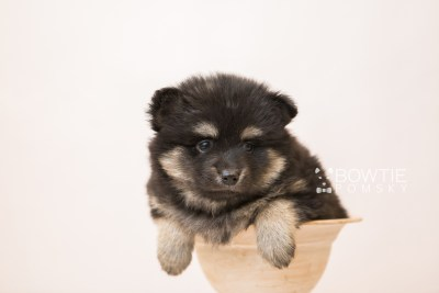 puppy95 week5 BowTiePomsky.com Bowtie Pomsky Puppy For Sale Husky Pomeranian Mini Dog Spokane WA Breeder Blue Eyes Pomskies Celebrity Puppy web3