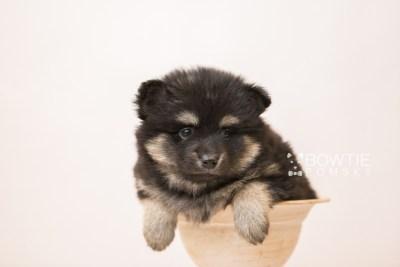 puppy95 week5 BowTiePomsky.com Bowtie Pomsky Puppy For Sale Husky Pomeranian Mini Dog Spokane WA Breeder Blue Eyes Pomskies Celebrity Puppy web3