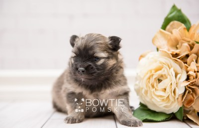 puppy96 week3 BowTiePomsky.com Bowtie Pomsky Puppy For Sale Husky Pomeranian Mini Dog Spokane WA Breeder Blue Eyes Pomskies Celebrity Puppy web3