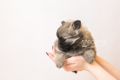 puppy96 week5 BowTiePomsky.com Bowtie Pomsky Puppy For Sale Husky Pomeranian Mini Dog Spokane WA Breeder Blue Eyes Pomskies Celebrity Puppy web6
